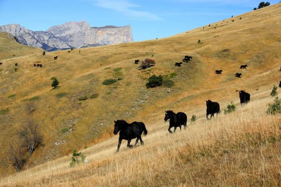 Transhumance automnale de chevaux de Mérens dans le vallon du Combeau, parc naturel régional du Vercors