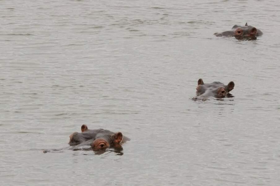 Hippopotames en file indienne se baignant dans la rivière Letaba, Afrique du Sud