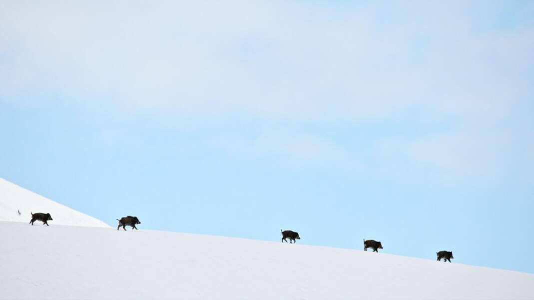 Progression d'une harde de sangliers en montagne sur neige dure