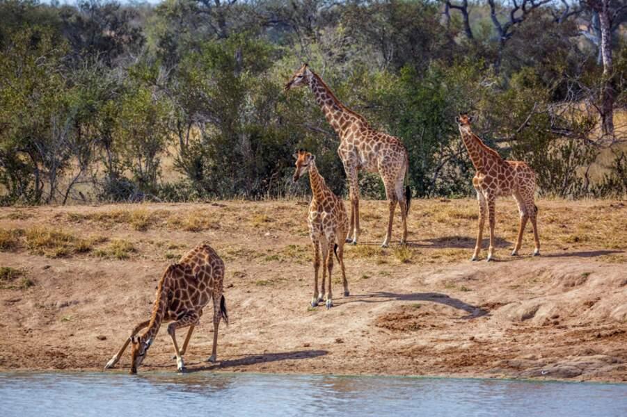Un groupe de girafes sur les bords d'un lac dans le Parc national de Kruger, Afrique du Sud. Les girafes attendent leur tour pour boire et gardent leur un mètre de distance comme s'il y avait un risque d'épidémie.