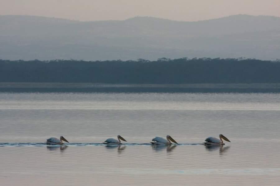Pélicans blancs