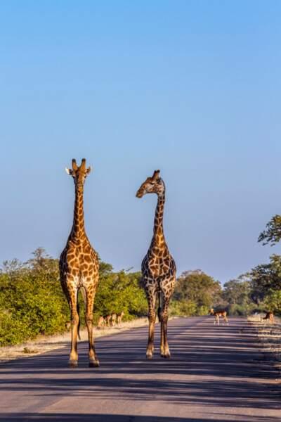 Deux girafes marchant dans le Parc national de Kruger, Afrique du Sud