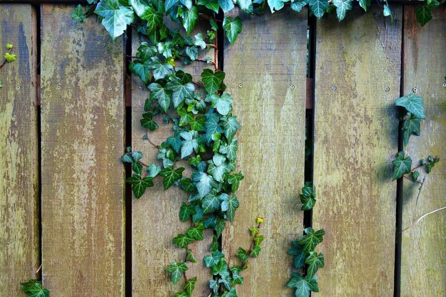 Des plantes grimpantes