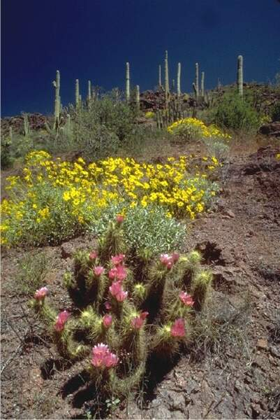 Désert de Sonora- 310 000 km²