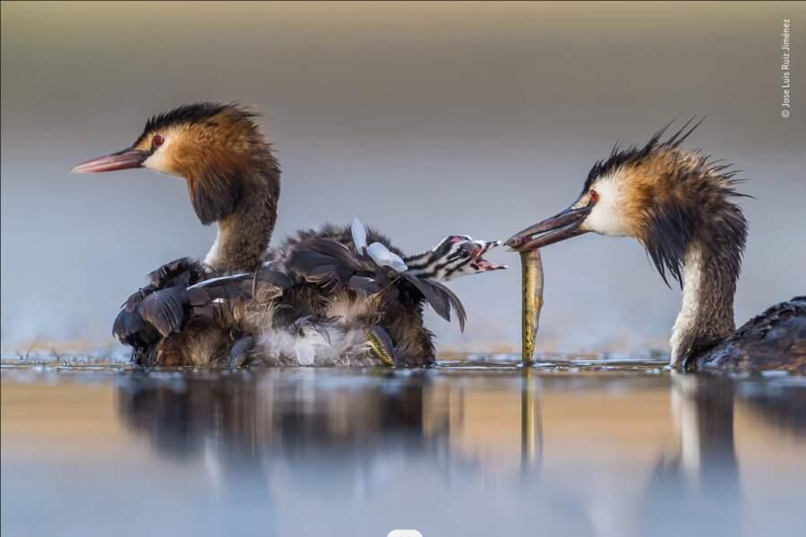 """La photo gagnante de la catégorie """" Comportement : Oiseaux"""""""