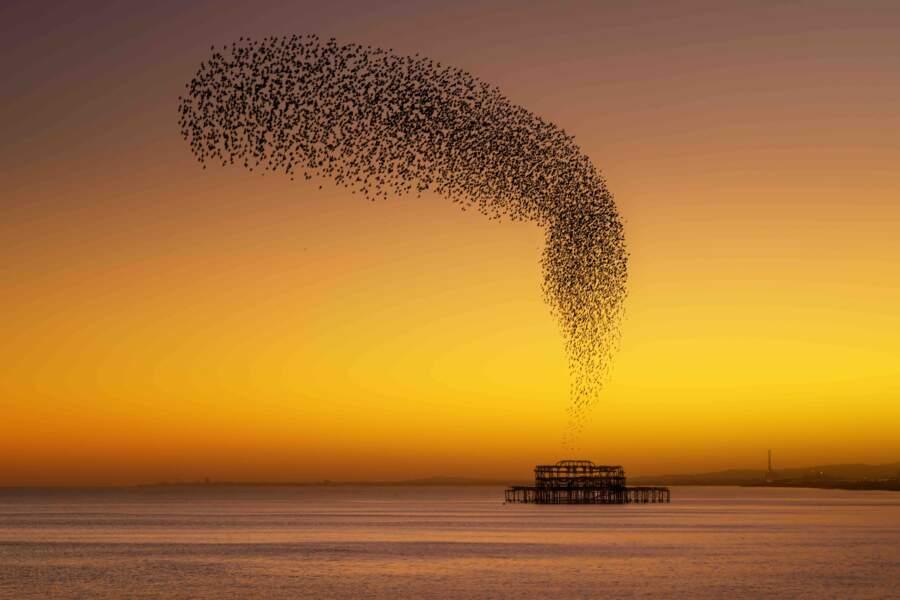 Vol d'étourneaux au-dessous de la jetée de West Pier à Brighton