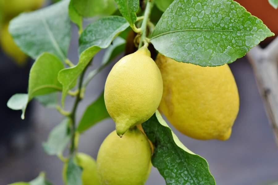 6 - Il y a des cochenilles dans mon citronnier