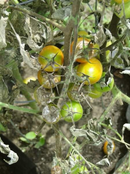 5 - Mes tomates ont le mildiou