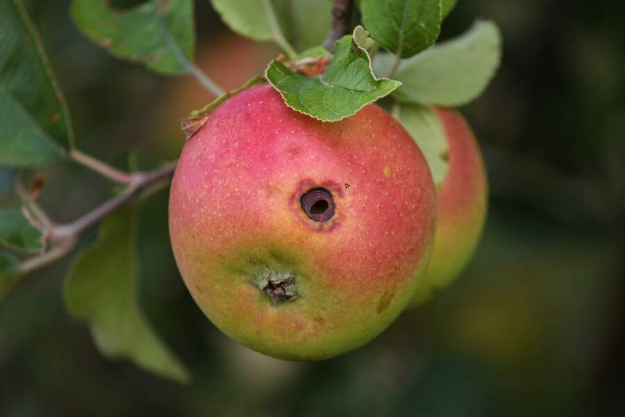 4 - Mes pommes sont véreuses