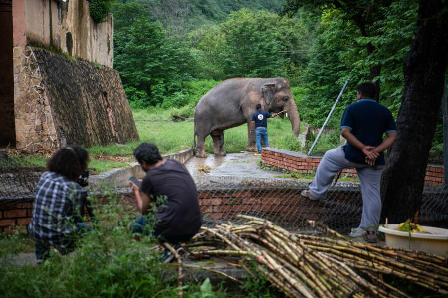Maltraité dans un zoo pakistanais, l'éléphant Kaavan est envoyé au Cambodge
