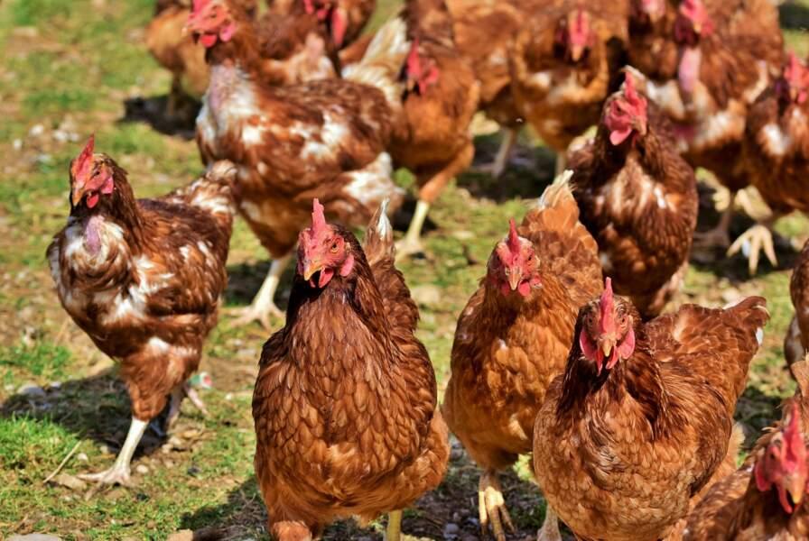 De moins en moins de poules en cage