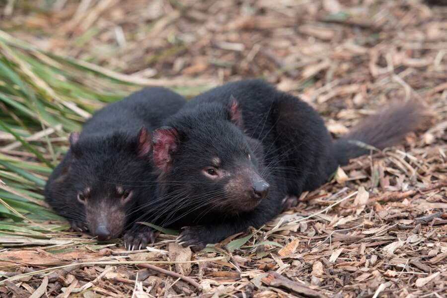 Des diables de Tasmanie réintroduits en Australie continentale