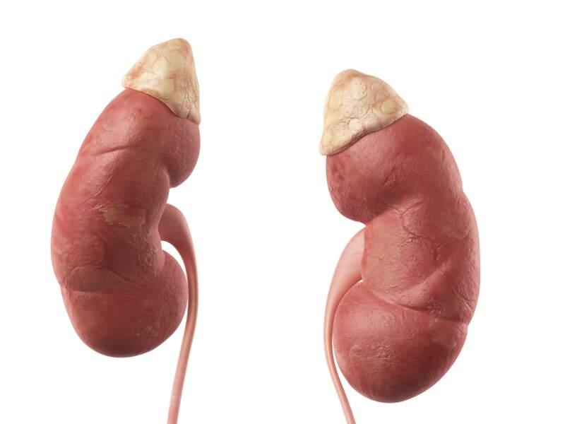 Les glandes surrénales et les reins