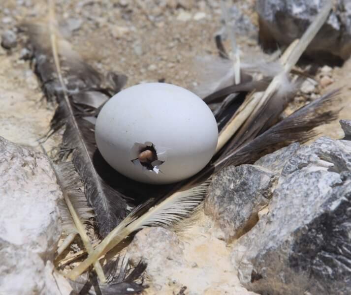 Aux Philippines, un poussin de canard dans l'œuf, le tout poché.