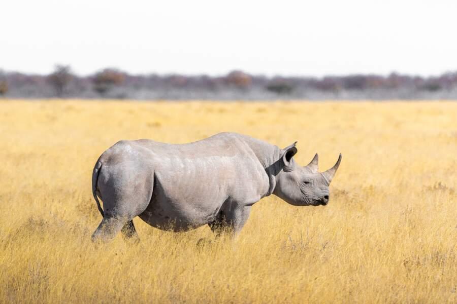 Moitié moins de rhinocéros tués en Afrique du Sud pour leurs cornes