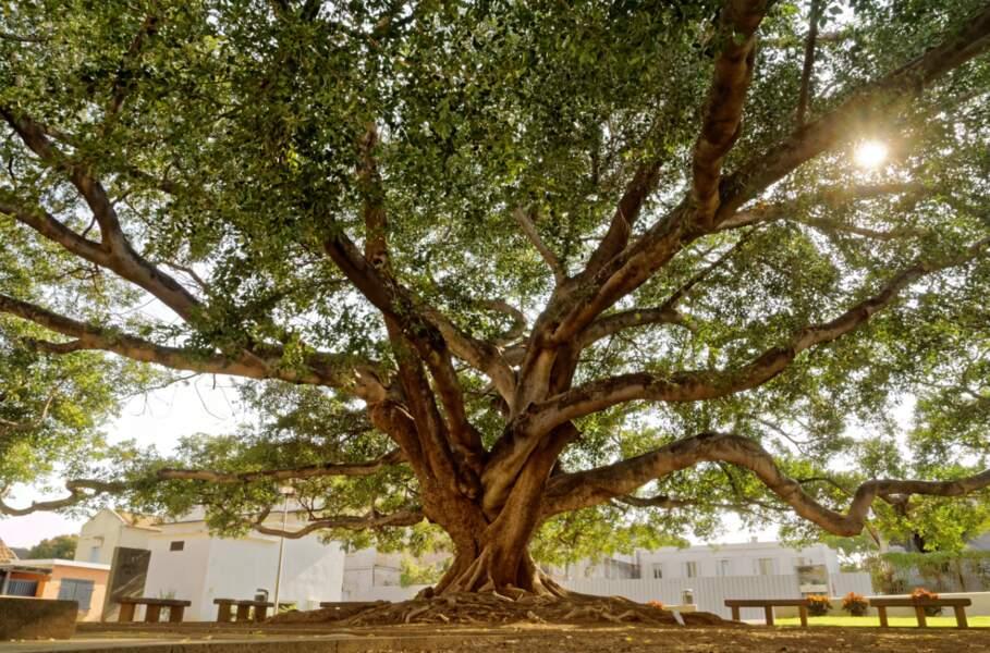 Flamboyant arbre-de-l'intendance