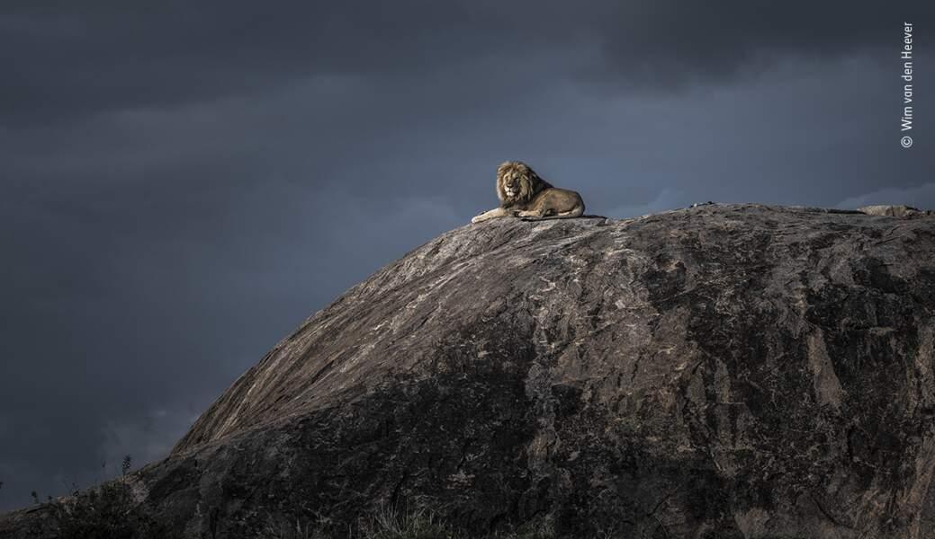 Roi Lion, Wim van den Heever, Afrique du Sud