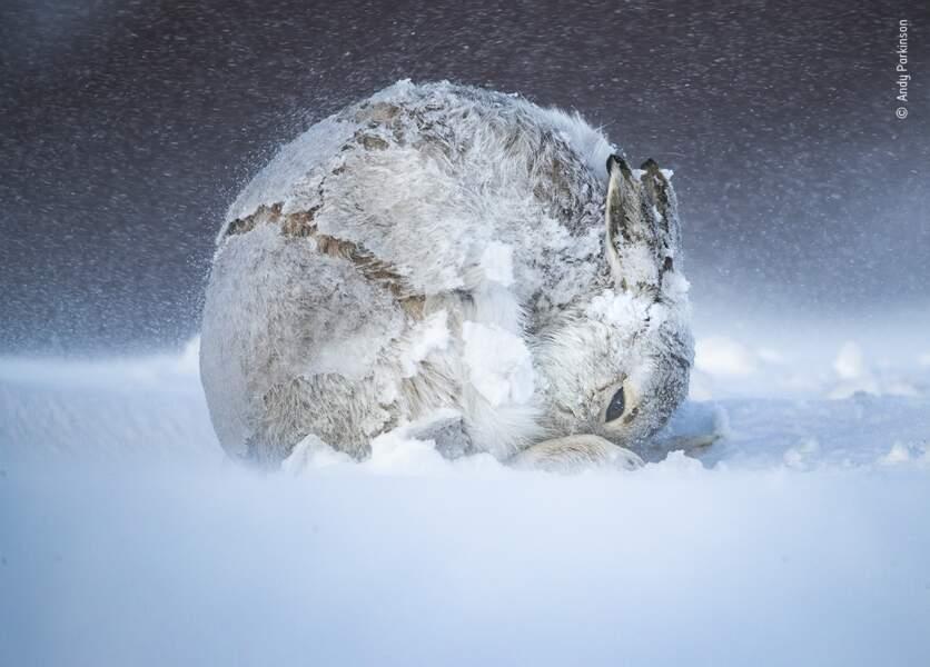 Boule de lièvre, Andy Parkinson, Royaume-Uni