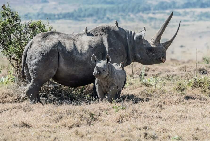 La population de rhinocéros noirs remonte doucement