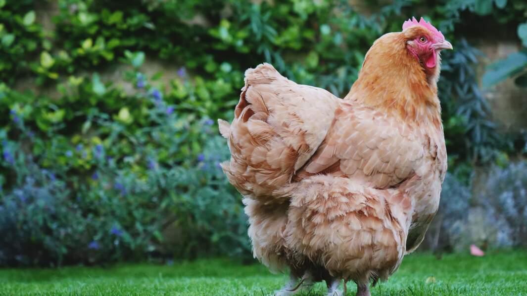 Pendant le confinement, la demande de poules pondeuses par les particuliers a explosé
