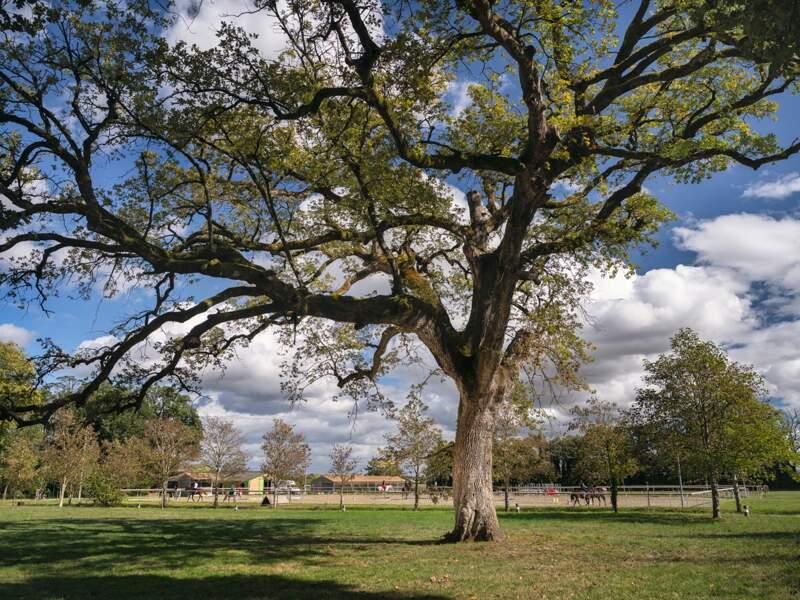 Chêne pubesscent (Quercus pubescens)