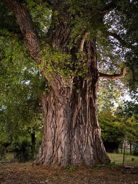 Prix du public : Peuplier noir (Populus nigra), dit « La Pouplie »