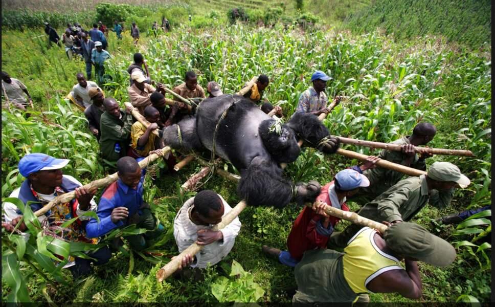 Mort d'un gorille