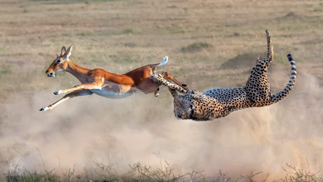 Guépard en pleine chasse