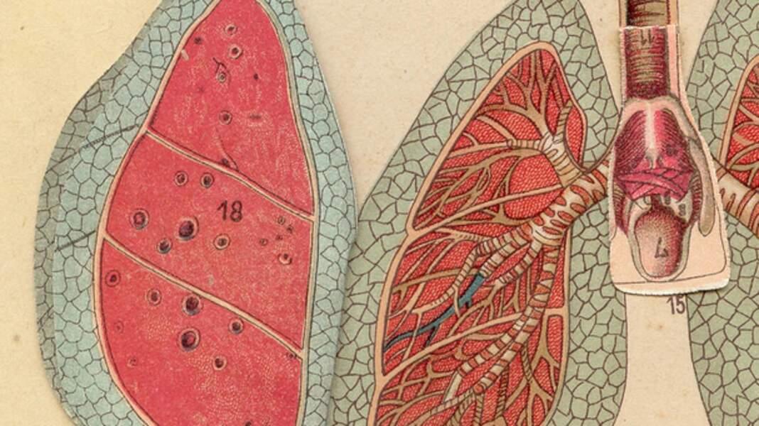 Les poumons : ils produiraient des cellules sanguines