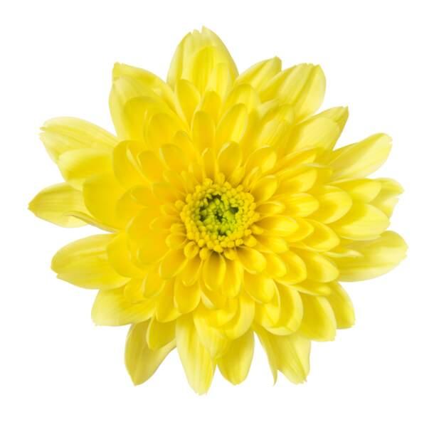 Avec un chrysanthème pour seule arme