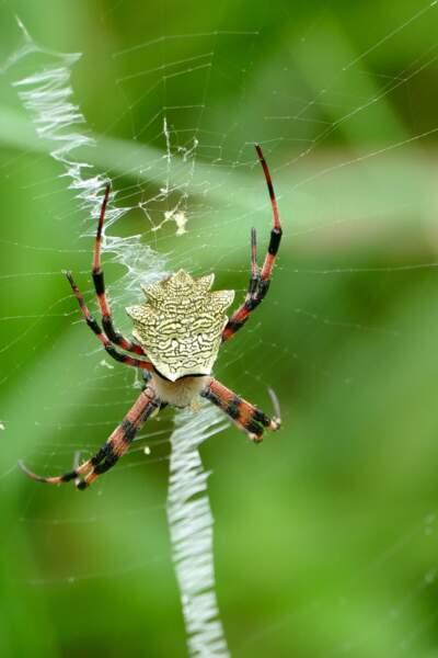 L'araignée hypnotique
