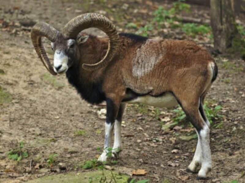 Le mouflon de Corse