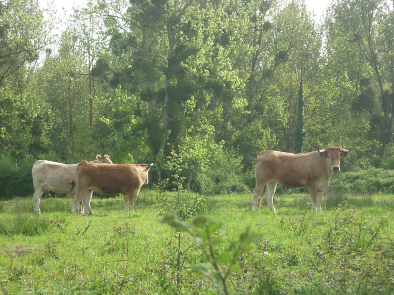 La nantaise : une vache tout-terrain