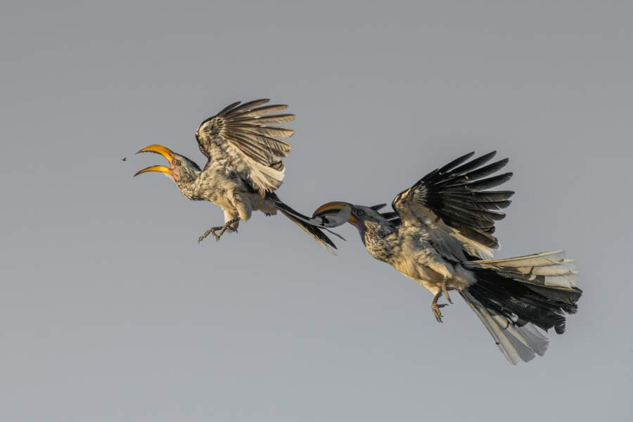 """Médaille de bronze, catégorie """"Oiseaux en vol"""""""