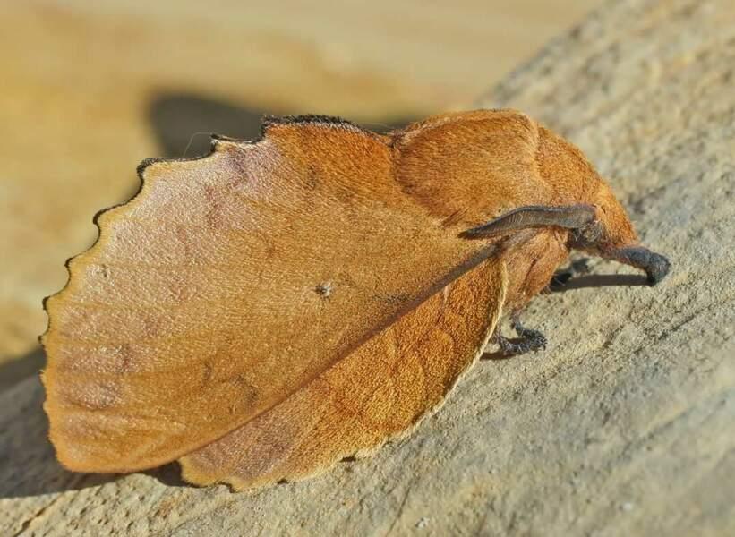 Gastropacha quercifolia ou la Feuille-morte du chêne