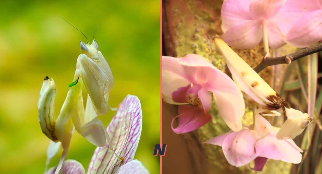 Hymenopus coronatus ou Mante orchidée