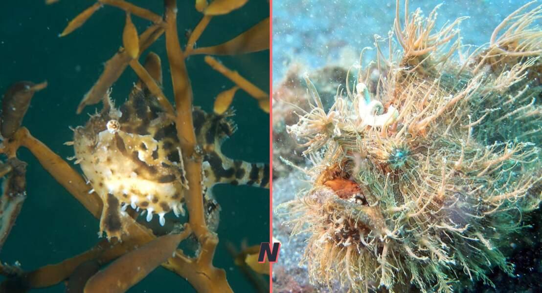 Les Poissons-grenouilles ou Antennaires