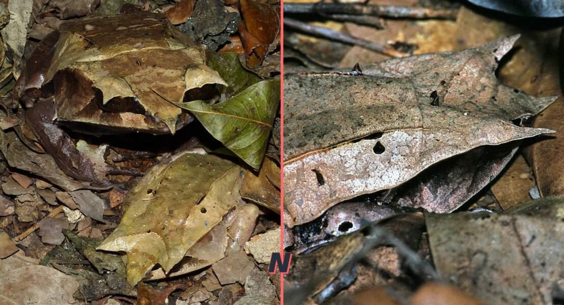La Grenouille cornue asiatique ou Grenouille feuille