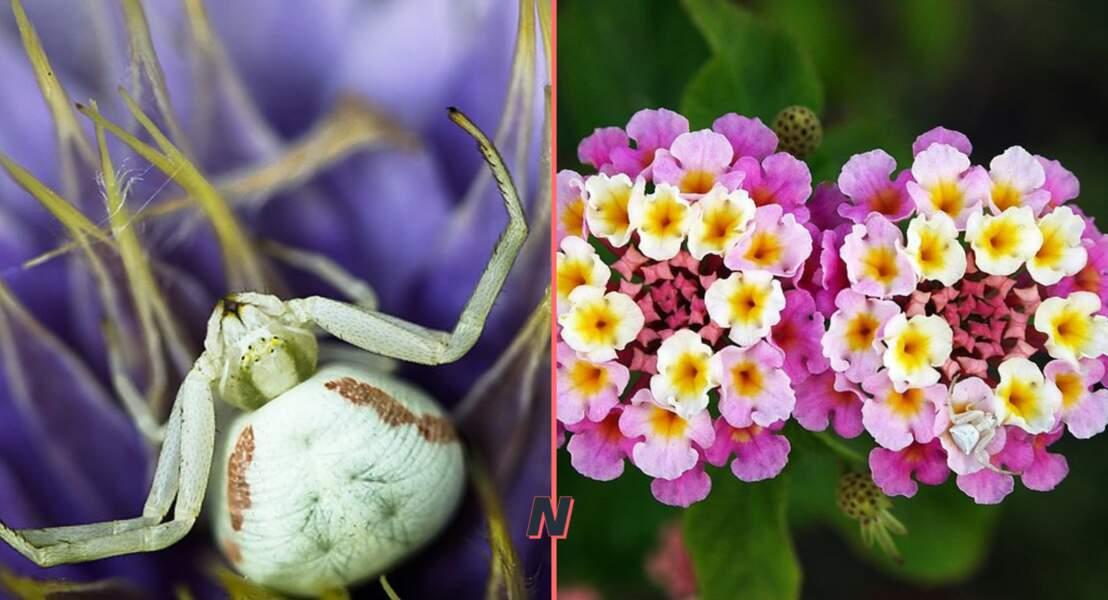 Thomisidae ou araignée-crabe