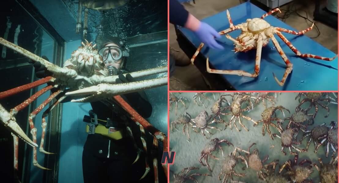 Le crabe-araignée géant