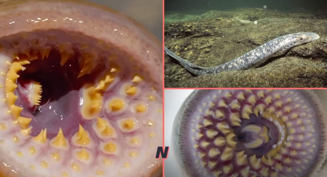 La lamproie marine