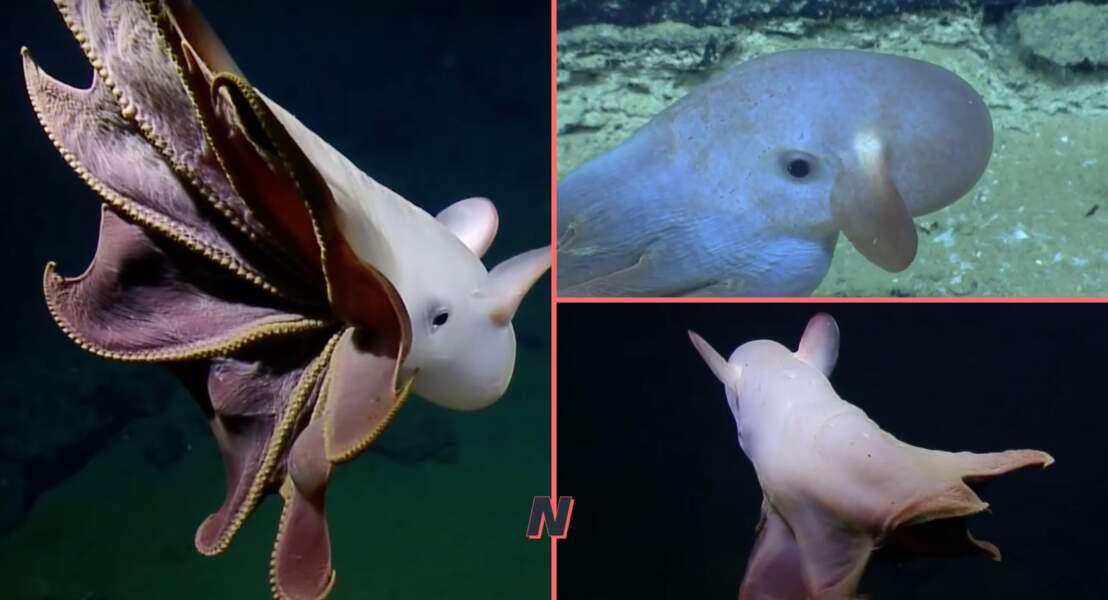 Le poulpe Dumbo