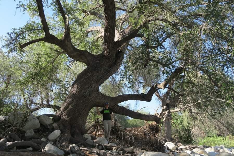 Quercus brandegeei