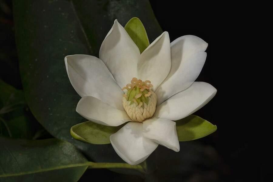 Magnolia ekmanii