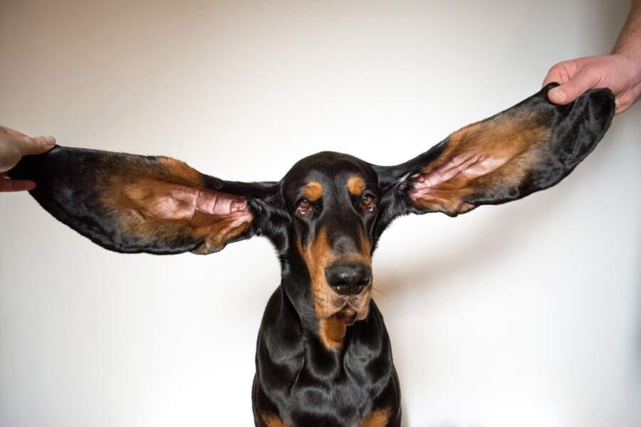 Les oreilles de chien les plus grandes