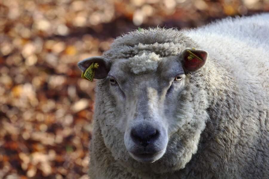 Jus d'œil de mouton, Mongolie